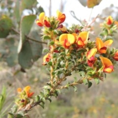 Pultenaea procumbens (Bush Pea) at Tuggeranong Hill - 6 Oct 2014 by michaelb