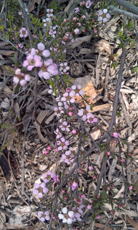 Leptospermum multicaule at Gungaderra Grasslands - 10 Oct 2014