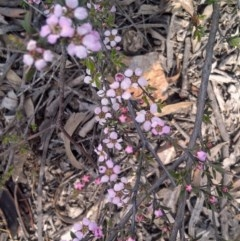Leptospermum multicaule (Teatree) at Gungaderra Grasslands - 9 Oct 2014 by galah681