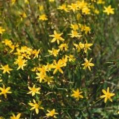 Tricoryne elatior (Yellow Rush Lily) at Conder, ACT - 9 Nov 2000 by michaelb