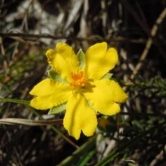 Hibbertia calycina at Kama - 2 Oct 2014