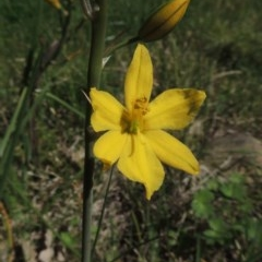 Bulbine bulbosa (Golden Lily) at Conder, ACT - 1 Oct 2014 by michaelb