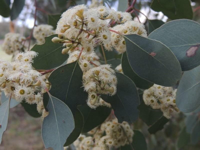 Eucalyptus polyanthemos at Jerrabomberra Wetlands - 10 Oct 2014