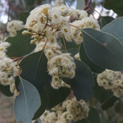 Eucalyptus polyanthemos (Red Box) at Jerrabomberra Wetlands - 10 Oct 2014 by michaelb