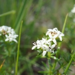 Asperula conferta (Common Woodruff) at Ainslie, ACT - 18 Oct 2014 by AaronClausen