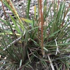 Stylidium graminifolium at Gungaderra Grasslands - 21 Oct 2014