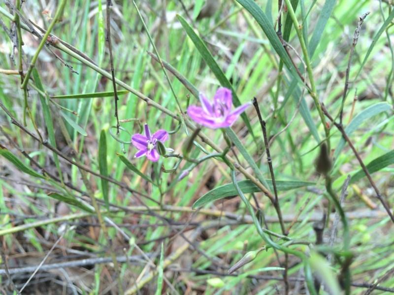 Thysanotus patersonii at Gungaderra Grasslands - 21 Oct 2014