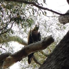 Aquila audax (Wedge-tailed Eagle) at Aranda Bushland - 9 Mar 2016 by CathB