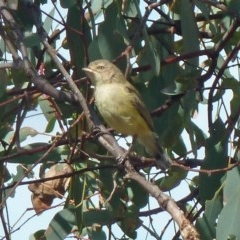 Smicrornis brevirostris (Weebill) at Black Mountain - 11 Mar 2016 by galah681