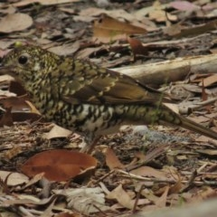 Zoothera lunulata (Bassian Thrush) at Meroo National Park - 9 Mar 2016 by JohnBundock