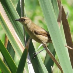 Acrocephalus australis (Australian Reed-Warbler) at Jerrabomberra Wetlands - 5 Mar 2014 by JohnBundock