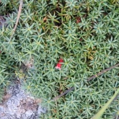 Astroloma humifusum (Cranberry heath) at Mcquoids Hill - 13 Mar 2016 by RyuCallaway