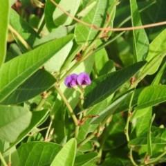 Hardenbergia violacea (False Sarsaparilla) at Mcquoids Hill - 13 Mar 2016 by RyuCallaway