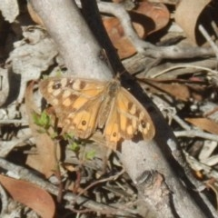 Geitoneura klugii (Klug's Xenica / Marbled Xenica) at Bruce, ACT - 19 Mar 2016 by MichaelMulvaney