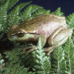 Litoria nudidigita (Narrow-fringed Tree-frog) at - 6 Dec 1994 by wombey