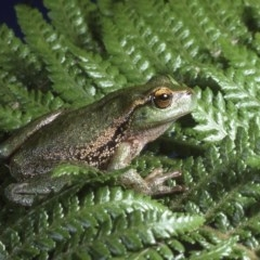 Litoria nudidigita (Narrow-fringed Tree-frog) at Cotter River, ACT - 6 Dec 1994 by wombey