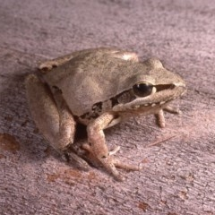 Litoria latopalmata (Broad-palmed Tree-frog) at Stromlo, ACT - 26 Oct 1985 by wombey