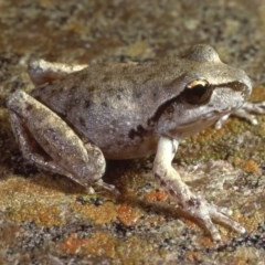 Litoria lesueuri (Lesueur's Tree-frog) at Jindabyne, NSW - 30 Mar 1979 by wombey