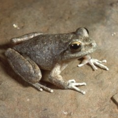 Litoria booroolongensis (Booroolong Frog) at Nurenmerenmong, NSW - 28 Jan 1987 by wombey