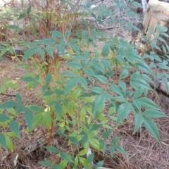 Nandina domestica (Sacred Bamboo) at Isaacs Ridge and Nearby - 21 Mar 2016 by Mike