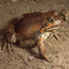 Limnodynastes dumerilii (Eastern Banjo Frog) at Sutton, NSW - 23 Mar 1987 by wombey