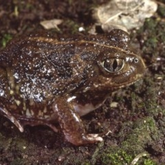Neobatrachus sudelli (Spotted Burrowing Frog) at Giralang, ACT - 11 Sep 1980 by wombey