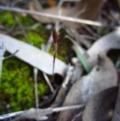 Cyanicula caerulea at Aranda Bushland - 15 Aug 2015