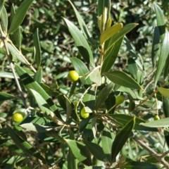 Olea europaea subsp. cuspidata (African Olive) at Mount Mugga Mugga - 25 Mar 2016 by Mike