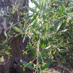 Olea europaea subsp. cuspidata (African Olive) at Mount Majura - 25 Mar 2016 by waltraud