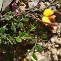 Bossiaea buxifolia (Bush Pea) at Birrigai - 28 Oct 2014 by galah681