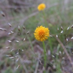 Calotis lappulacea (Yellow burr daisy) at Gigerline Nature Reserve - 20 Oct 2014 by michaelb