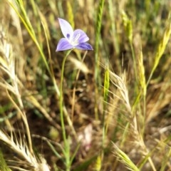 Wahlenbergia stricta subsp. stricta (Tall Bluebell) at Fraser, ACT - 30 Oct 2014 by ClubFED
