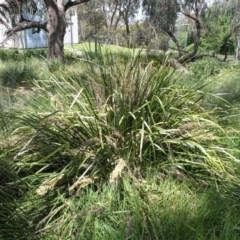 Lomandra longifolia (Spiny-headed Mat-rush, Honey Reed) at Acton, ACT - 5 Nov 2014 by TimYiu