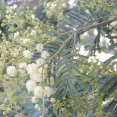 Acacia mearnsii (Black Wattle) at Tuggeranong Hill - 27 Oct 2014 by michaelb