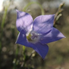 Wahlenbergia stricta subsp. stricta (Tall Bluebell) at Tuggeranong Hill - 27 Oct 2014 by michaelb