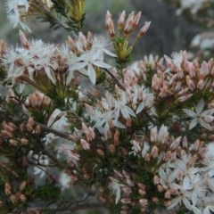 Calytrix tetragona (Common fringe-myrtle) at Tuggeranong Hill - 27 Oct 2014 by michaelb