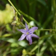 Caesia calliantha (Blue Grass Lily) at Oakey Hill - 9 Nov 2014 by MichaelMulvaney