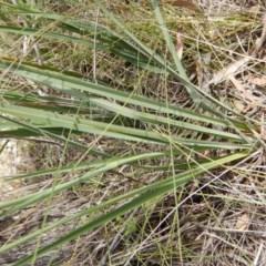 Dianella longifolia var. longifolia (Pale Flax Lily, Blue Flax Lily) at Oakey Hill - 9 Nov 2014 by MichaelMulvaney