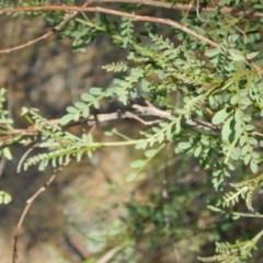 Indigofera adesmiifolia (Tick Indigo) at Oakey Hill - 9 Nov 2014 by MichaelMulvaney