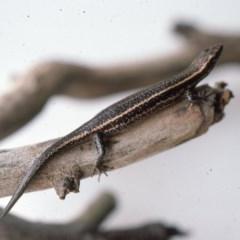 Pseudemoia spenceri (Spencer's Skink) at Deua National Park - 17 Mar 1976 by wombey