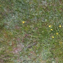 Hypoxis hygrometrica (Golden Weather-grass) at Conder, ACT - 30 Oct 2014 by michaelb