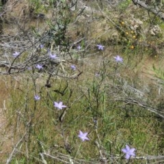 Wahlenbergia stricta subsp. stricta (Tall Bluebell) at Chisholm, ACT - 3 Nov 2014 by michaelb