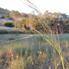 Austrostipa bigeniculata (Kneed Speargrass) at Tuggeranong Hill - 7 Nov 2014 by michaelb