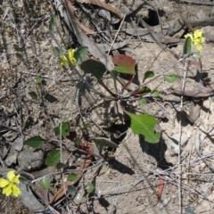 Goodenia hederacea (Ivy Goodenia) at Black Mountain - 19 Nov 2014 by galah681