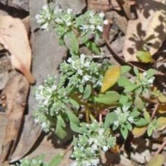 Poranthera microphylla (Poranthera) at Black Mountain - 19 Nov 2014 by galah681