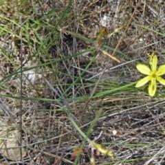 Tricoryne elatior (Yellow Rush Lily) at Black Mountain - 19 Nov 2014 by galah681