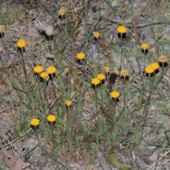 Leptorhynchos squamatus (Scaly Buttons) at Tuggeranong Hill - 7 Nov 2014 by michaelb