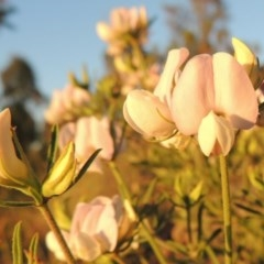 Lotus australis (Austral trefoil) at Pine Island to Point Hut - 8 Nov 2014 by michaelb