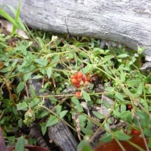 Einadia nutans subsp. nutans at Goorooyarroo - 20 Nov 2014