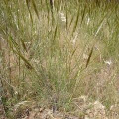 Austrostipa densiflora (Foxtail Speargrass) at Goorooyarroo - 20 Nov 2014 by lyndsey